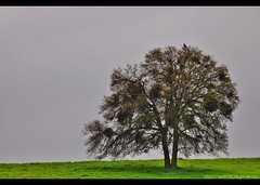 Hawk On Oak Tree 2011_1 (C. Roy Yokingco) Tags: california ca travel foothills tree green grass northerncalifornia catchycolors photography spring oak nikon gloomy hawk windy overcast rainy nikkor westcoast valleysprings calaverascounty d90 loneoak tc17eii afs70200mm nxtrfoto nextierphotography