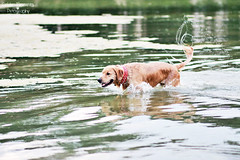 Sea Monster 22/52 (Golden Moments Petography) Tags: boy red dog lake reflection male guy green water goldenretriever golden pond friend jasper 85mm canine buddy dude collar companion spiked k9 canon60d