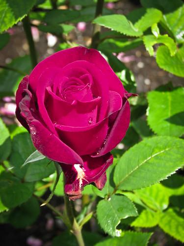 Красивая нежная роза!!!!! Изумительный цвет. IMG_1721 by andrey.salikov
