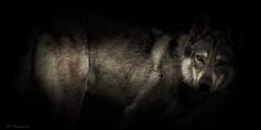 Il buono, il brutto e il cattivo... (Pilouchy) Tags: buono brutto cattivo wolf eyes lumiere loup dog free wild wood conte story histoire regard liberte animal foret montagne