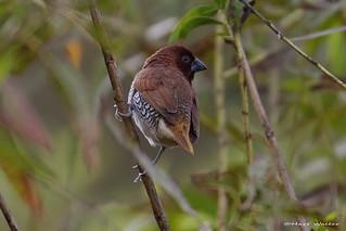 Scaly-breasted Munia, male, Huntington Beach, CAL CQ4A9649