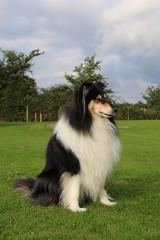 Bella (Taracy) Tags: bella lassie apple orchard campsite forest dean england collie dog
