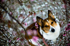 Touch of Pink (moaan) Tags: leica dog digital 50mm march spring corgi dof bokeh f10 utata stare noctilux welshcorgi ume m9 japaneseapricot 2011 pochiko leicanoctilux50mmf10 leicam9 blossomviewer gettyimagesjapanq2