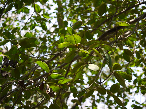 Brown Woolly Fig