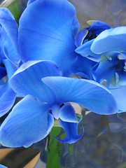 Mystic Blue Orchid 1