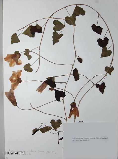 Muestra de herbario de la especie <i>Calystegia tuguriorum</i>.