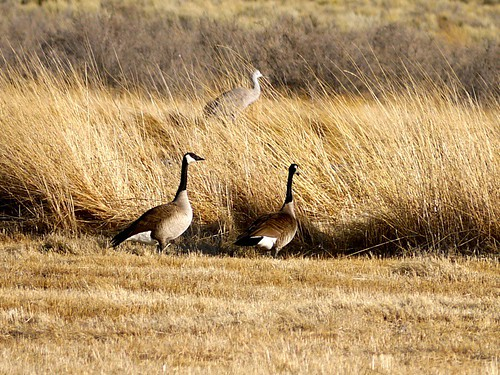 Sandhill cranes in New Mexico Larry Calloway