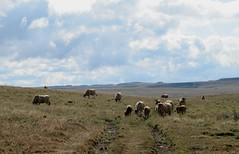 les grands espaces (1) (b.four) Tags: cow prairie range prato vache dda pré aubrac vacca coth lozère cherryontop supershot bej thefarcountry abigfave impressedbeauty nasbinals rubyphotographer mygearandme