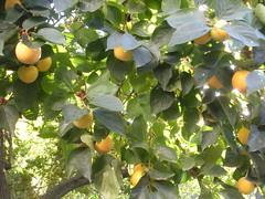 Diospyros kaki (sftrajan) Tags: madrid autumn espaa tree fruit garden spain espanha espana otoo botanic botanicgarden espagne spanien jardinbotanico caqui spanje espanya japanesepersimmon diospyroskaki kakipersimmon