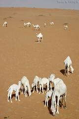 Camels Life (TARIQ-M) Tags: white texture landscape sand waves desert dunes camel camels riyadh saudiarabia الصحراء canonefs1855 صحراء خيمة رمال جمل ابل رمل خيام طعس نياق canon400d الرمل ناقة خطوط نفود الرمال كثبان تموجات تموج نفد whitecamels