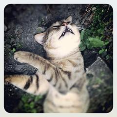fainted (Daa) Tags: cute animal cat funny sleep  iphone     iphone4