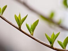 4月のお庭〜Styrax japonica〜