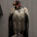 buzzard still life thumbnail