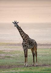 Giraffe, Lake Manyara National Park