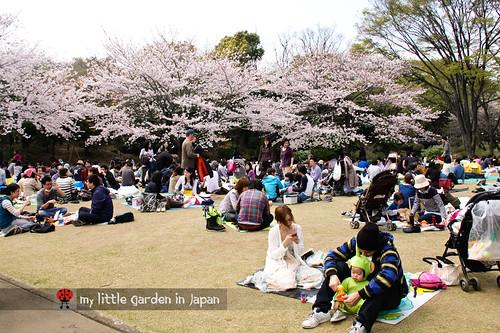 Sakura-in-Tokyo-3