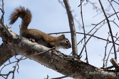 Red squirrel in the bird tree (12 of 11).jpg