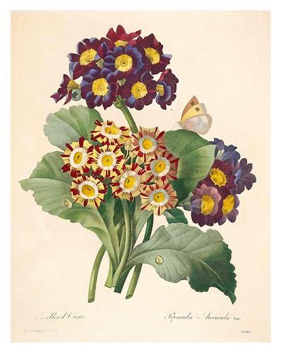 015- Primula-Choix des plus belles fleurs…1827- P.J.Redoute