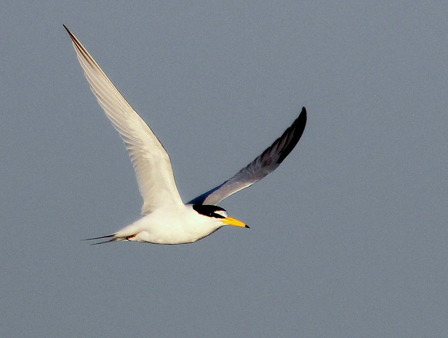 Least Tern in-flight 2-20110415