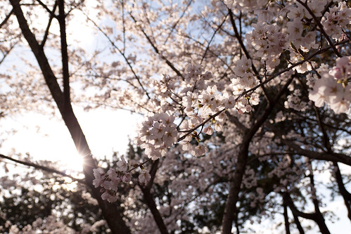 見附公園の桜5