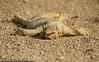 Death of a Lizard (Mishari Al-Reshaid Photography) Tags: road canon dead death desert stones wildlife tail lizard dirt 7d roadkill kuwait gtm canoncamera canonphotos canonllens mishari dhub kuwaitphoto kuwaitphotos kvwc gtmq8 kuwaitvoluntaryworkcenter kuwaitvwc kuwaitphotography misharialreshaid malreshaid misharyalrasheed