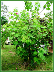 Hibiscus mutabilis (Confederate Rose, Cotton Rose, a large flowering shrub or small multi-stemmed tree