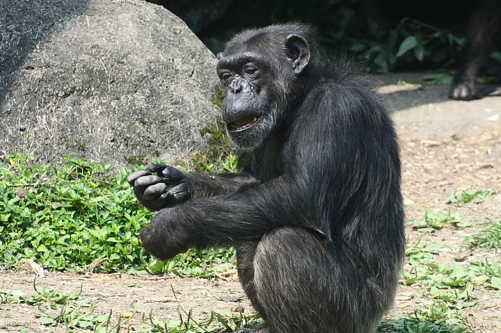 木柵動物園(黑猩猩)023