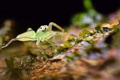(Techuser) Tags: nature animal spider rainforest close arachnid maco reverse salticidae parquedaonaparda soligor2835