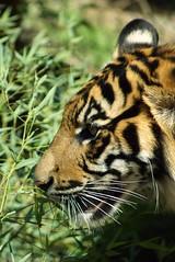 DSC07500 (washuugenius) Tags: photo tiger tacoma sumatrantiger pointdefiancezooandaquarium