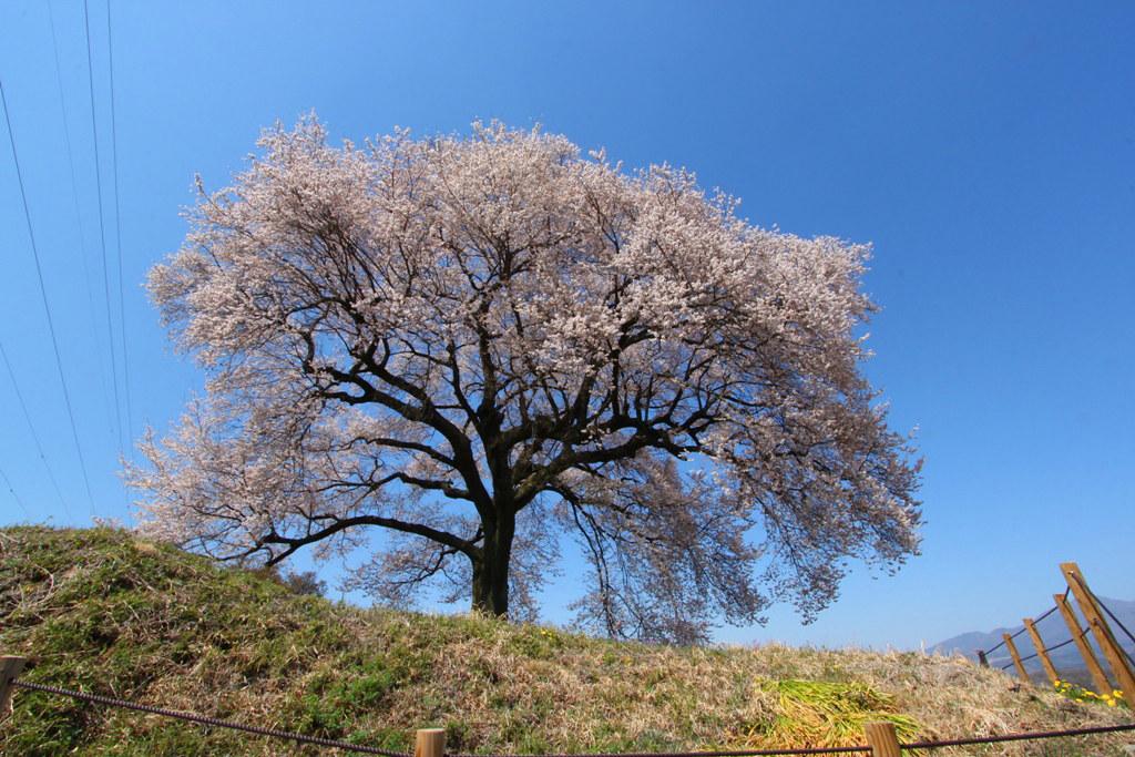 Sakura Photo 2011Wanizuka cherry blossom (2)