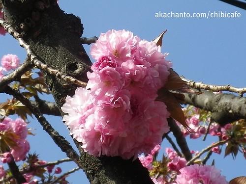 八重桜 yae-sakura