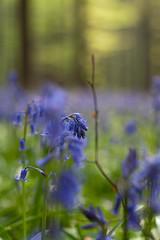 Hallerbos (txh74) Tags: blue forest spring nikon april blau wald hyacinth frhling hallerbos hyacinthus hyazinthen boisdehalle d700