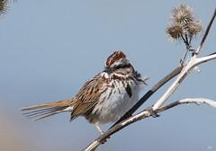 Bruant chanteur / Song Sparrow (alain.maire) Tags: bird oiseau songsparrow melospizamelodia emberizidae bruantchanteur