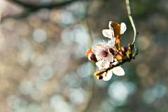 Spring Bokeh (Nelson Vargas Photo) Tags: flower utah spring dof bokeh saltlakecity libertypark nikond700 nikkor2470mmf28ged