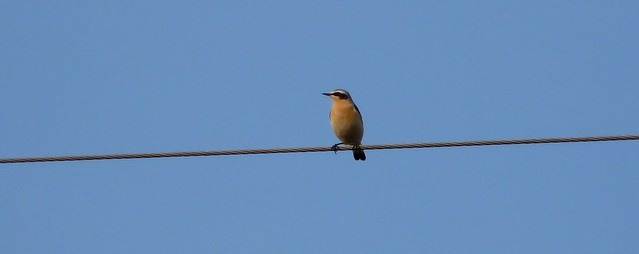 24208 - Wheatear, Bryn-bach-Common
