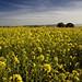Flores amarillas en tierra de grelos