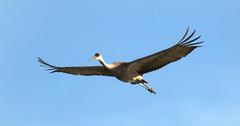 flying sandhill crane (gerrybuckel) Tags: nature birds absolutemichigan largebirds