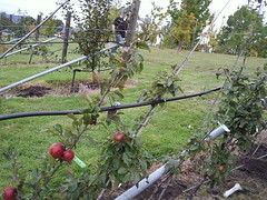 Apples in Cordon
