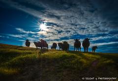 Ode to John Tolan II (Silent G Photography) Tags: california ca cow cattle sunburst hdr highdynamicrange sanluisobispo lightroom f20 photomatix handheldhdr highdynamicrangephotography seecanyonroad nikond7000 prefumocanyonroad nikkor1635mmf4 markgvazdinskas silentgphotography johntolan