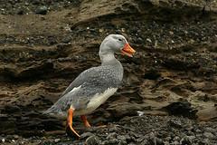 Alas de la Patagonia - 21 (crucerosaustralis) Tags: world chile stella patagonia beagle argentine del de ushuaia puerto penguin canal cabo mare willi