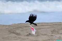 TakingOffAgain (mcshots) Tags: california usa bird beach birds trash neck coast losangeles stock flight strangle socal plasticbag crow mcshots twisted