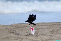 TakingOffAgain (mcshots) Tags: california usa bird beach birds trash neck coast losangeles stock flight strangle socal plasticbag crow mcshots twisted