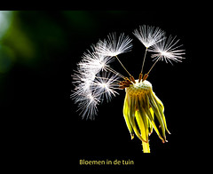 Wie 't kleine niet eert... (Arie van Tilborg) Tags: flowers backlight dandelion bloemen tegenlicht paardebloem goldcollection arievantilborg dragondaggerphoto visionqualitygroup visionquality100 virgilio~gf pipexcellence