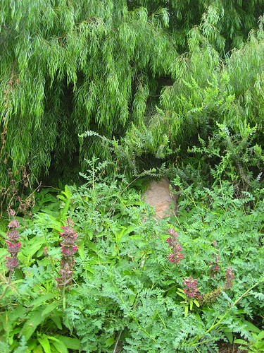 Old Pueblo Trail Hummingbird Sage