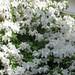 Azalea (white)