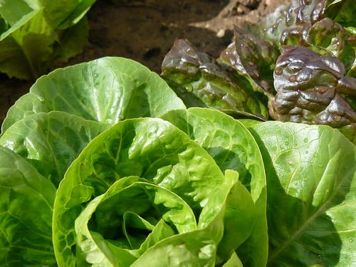 homegrown salads
