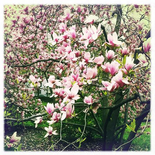 Pretty pretty magnolias