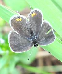 Delta Insect Macro (jwinfred) Tags: macro nature mississippi nikon butterflies delta cypress eastern preserve greenville 2011 hairstreaks tailedblue