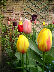 view of assorted tulips may2004 (sarahmarsham) Tags: flowers head tulip holloway grown nags n7