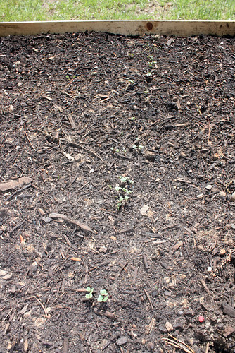 A shot composed mostly of dirt, but with a row of little seedlings running down the middle, each with four tiny round leaves soaking up the sun.
