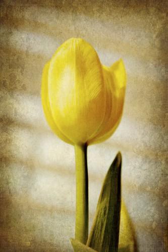 Yellow Tulip by laguglio